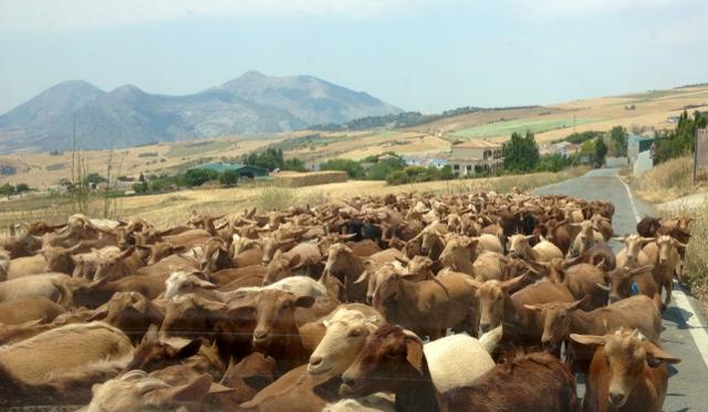Las cabras toman la carretera: situación típica y curiosa en la zona
